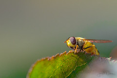 Insect chasing 1 (JanMNielsenPhoto) Tags: macro insect bee leaf garden nature naturephotography nikon nikonphotography d7200 sigma 105mm summer danishsummer