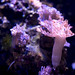 Pink coral polyp
