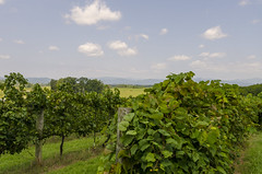 The Vineyards of Chattooga Belle Farm (rschnaible (On Holiday)) Tags: landscape outdoors farm farming truck agriculture the south chattooga belle blue ridge mountains work production food drink vineyard grapes wine making