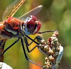 Libellula - Dragonfly (Jambo Jambo) Tags: libellula dragonfly padule palude swamp marsh diacciabotrona riservanaturalediacciabotrona grosseto castiglionedellapescaia toscana tuscany italia italy insetti insects macro sonydscrx10m4 jambojambo