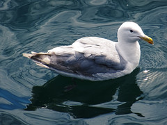 015a (RD1630) Tags: seattle sea water meer usa washington state seagull möwe pier 70 landscape landschaft outside outdoor animal tier