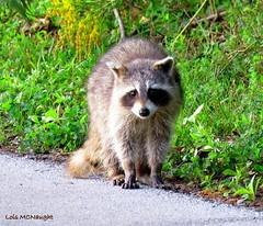 Raccoon (Lois McNaught) Tags: raccoon animal nature wildlife hamilton ontario canada