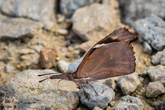 AMERICAN SNOUT BUTTERFLY (nsxbirder) Tags: clarksville places butterfly ohio americansnout cowanlake clintoncounty