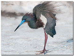 Tricolored Heron (Betty Vlasiu) Tags: tricolored heron egretta tricolor bird nature wildlife florida
