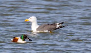 Northern Shoveler / Skeiðönd (Anas clypeata) and Lesser black-backed gull / Sílamáfur (Larus fuscus)