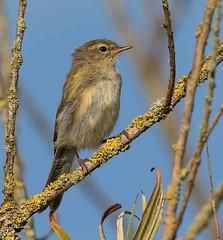 IMG_5232 Chiffchaff (Dennis Swaby) Tags: bird chiffchaff warbler