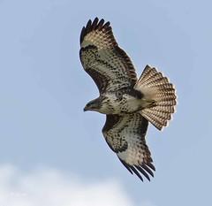 IMG_4963 Common Buzzard (Dennis Swaby) Tags: bird buzzard commonbuzzard raptor