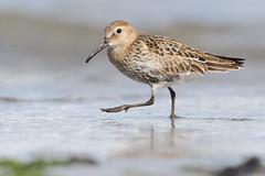 Dunlin, Ballygally (allengillespie.photo) Tags: dunlin waders shorebirds ballygally larne