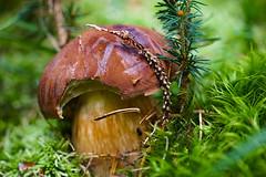 Marone (A.K. 90) Tags: bayboletus mushroom moos pilz fungus brown braun green grün autumn herbst little klein makro nature natur sonyalpha6000 e18135mmf3556oss forest wald
