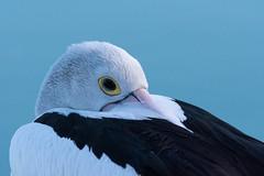 Yes I  am Awake (armct) Tags: pelecanus conspicillatus pelican australian resting sleeping bill warm chilly eye currumbin estuary morning wader waterbird massive peaceful calm serene nikon d810 200500mm wary suspicious alert