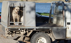 dog in a box on a ute (spelio) Tags: act canberra australia