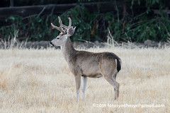 Columbian Black-tailed Deer (Odocoileus hemionus columbianus), male DSC_0092 (fotosynthesys) Tags: columbianblacktaileddeer odocoileushemionuscolumbianus blacktaileddeer muledeer deer cervidae mammal california unitedstates