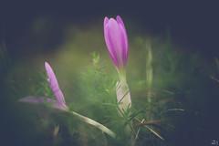 232/365 (misa_metz) Tags: nikon nature naturephotography photo photography plant autumn flower lights flowers outdoor purple colors color helios manual macro