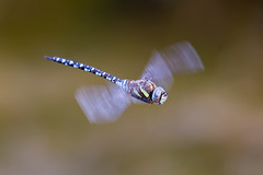 Migrant Hawker (Simon Stobart) Tags: migrant hawker aeshna mixta flying hovering north east england uk naturethroughthelens