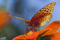 Great Spangled Fritillary (JBtheExplorer) Tags: great spangled fritillary butterfly mexican sunflowers tithonia rotundifolia torch garden pollinator magnet wisconsin racine