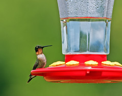 Ruby-throated Hummingbird (noblesgeorge1) Tags: