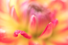 The Heart of the Dahlia (mclcbooks) Tags: flower flowers floral macro closeup dahlia denverbotanicgardens colorado summer petals drops abstract