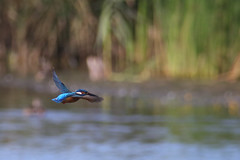 Kingfisher (Alcedo atthis) (markkilner) Tags: canon eos 80d dslr kent england kilner televue tv60 televue60 manualfocus telescope apo primefocus nature wildlife autumnwatch groveferry stodmarsh nnr bird kingfisher alcedoatthis flight flying feasthide