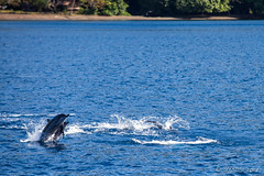 Spinner Dolphins – Stenella Longirostris 3141 (Ursula in Aus - Travelling) Tags: jimclinephototour milnebay png papuanewguinea tawali