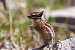 Golden mantled ground squirrel (Bill Clark_photos) Tags: banff alberta canada kananaskis