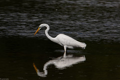Great Egret (grobinette) Tags: greategret egret accotinckbaywildliferefuge potomac explored