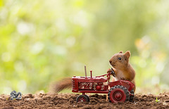 young red squirrel with an tractor (Geert Weggen) Tags: tractor sweden farm agriculture crop field harvesting summer greencolor plow business drought lifestyles rough ruralscene accidentsanddisasters autumn businessfinanceandindustry cloudsky dirt dirty double driving dry dust environment environmentalconservation eroded farmer growth harrowagriculturalequipment horizontal land landvehicle nonurbanscene outdoors photography routine season shiny socialissues topsoil toughness violence weather worktool working squirrel animal spade rodent red young geert weggen bispgården jämtland ragunda hardeko