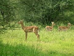 Never Disappointing! (The Spirit of the World ( On and Off)) Tags: tanzania meadow green impala antelope safari gamereserve eastafrica africa arusha greenseason gamedrive sighting 1stsafari nature wildlife