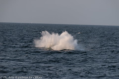 AHK_7647 (ah_kopelman) Tags: unkmncresli2018082602 2018 cresli creslivikingfleetwhalewatch megapteranovaeangliae montaukny vikingfleet vikingstarship breachsequence humpbackwhale whalewatch