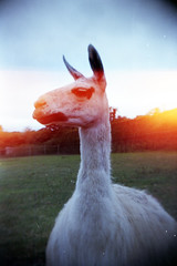 llama with light leak (pho-Tony) Tags: toycameras classiccameradiytlr haynes manual classic camera haynesmanualclassiccamera haynesmanual kit plastic toy novelty 35mm receskytlrdiycamera recesky tlr diy gakkenflex ishootfilm agfavista agfa vista iso 200 poundland tetenal c41