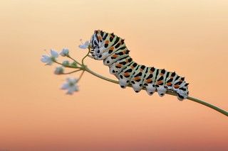 *Swallowtail caterpillar at dusk*