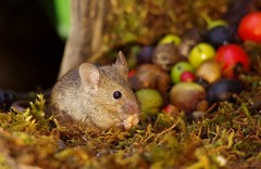 wild house mouse   (16) (Simon Dell Photography) Tags: wild garden house mouse nature animal cute funny fun moss covered log pile acorns nuts berries berrys fuit apple high detail rodent wildlife eye ears door home sheffield ul old english country s12 simon dell photography food tree