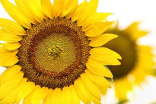 Two Sunflowers 3-0 F LR 7-13-18 J197