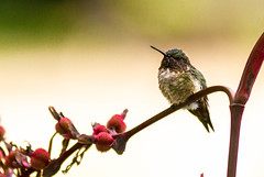 The Sentinel Returns (114berg) Tags: 30august18 male adult ruby throated hummingbird canna plants geneseo illinois