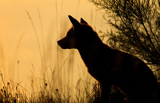 Red Fox in the evening sunset glow.