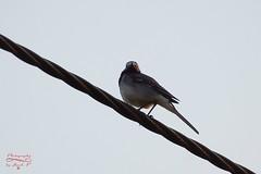 Bird on the wire. (Jurek.P) Tags: birds bird pliszka wagtail ptaki ptak jurekp sonya77