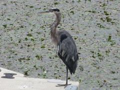 Standing heron (trilliumgirl) Tags: salmon arm shuswap bc british columbia canada heron mudflats