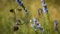 Hummingbird Double (Bernie Duhamel) Tags: broadtailedhummingbird bird colorado coloradowildlife wildlife sonyfe100400mm sonya9 greatphotographers frontrange teamsony rockymountains boulder bouldercounty bernie duhamel
