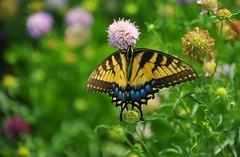 summer butterfly (gwuphd) Tags: nikon 28300mm f35 swallowtail summer