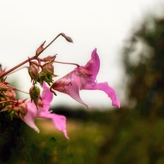 Pretty pink (Mellisapix) Tags: blossom blooms buds petals foragers foraging annual impatiensglandulifera impatients countryside outdoors nature pollinator nectar plants edible botanical botany uk kent kissmeonthemountain touchmenot himalayan balsam pink flower