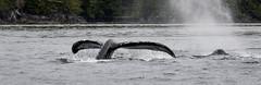 Humpback Whale (Turk Images) Tags: britishcolumbia dundasisland humpbackwhale pacificocean workchannel westcoast cetaceans mammals marine
