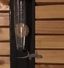 Gecko, Pluviomètre - 1mm le 5-08-2018 - IMG_4397 (6franc6) Tags: occitanie languedoc gard 30 milhaud août 2018 6franc6 pluie pluviomètre météo orage tarentedemarétanie
