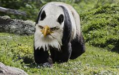 Pandaguila (seguicollar) Tags: imagencreativa photomanipulación art arte artecreativo artedigital virginiaseguí osopanda águila combinado verde césped ojos pico orejas