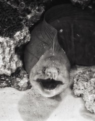 Eel says hello (LadyCardinalJenny) Tags: georgiaaquarium aquarium atlanta atl inside indoor animal macro eel blackandwhite bw
