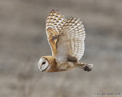 The Flying Canister (pandatub) Tags: ebparks ebparksok bird birds owl barnowl hrs haywardregionalshoreline
