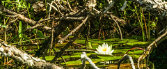 Beauty In The Ugly Pond (Yuri Dedulin) Tags: waterlilies flowering plants pond nature flower water outdoor woods white lily northamerica fall capecod 2018 yuri dedulin abstract reflection floating hiding beauty branch sun wellfleet massachusetts longpond