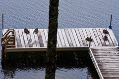 Ducks on the Dock 233/365 (stevenp2269) Tags: lake maine d7200 nikon ducks