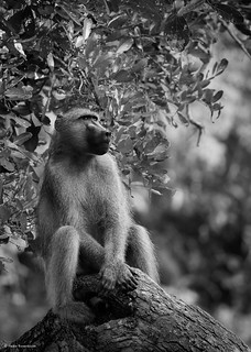 Baboon lost in thought