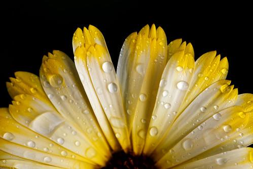 Sunrise Marigold