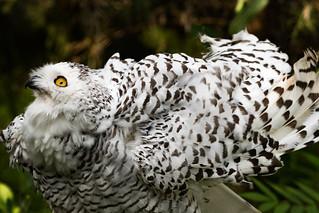 Snowy Owl 09
