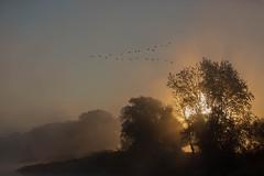 Keilformation (IIIfbIII) Tags: wendland elbe kranich grus grue crane sun sunlight kitsch landschaft landscapephotography landscape fog foggy nebel dunst sonnenaufgang canon nature bird birdphotography wildlife wildlifephotography